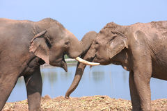 Elephant behavior Royalty Free Stock Photo
