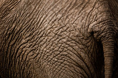 Elephant behind Stock Images