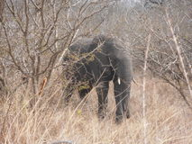 Elephant behind tree Royalty Free Stock Photography