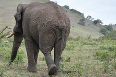 Elephant behind Stock Image