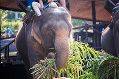 Elephant being eat grass with tourist on elephant back. Elephant being eat grass in elephant park stock photography