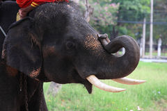 Elephant bending its tusk Royalty Free Stock Photography