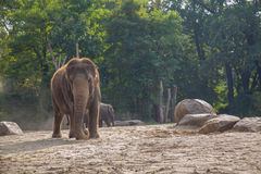 Elephant. The elephant in the Berlin zoo Royalty Free Stock Photo