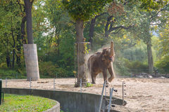 Elephant. The elephant in the Berlin zoo Stock Photography
