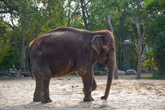 Elephant. The elephant in the Berlin zoo Stock Images