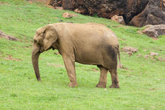 Elephant. Big elephant in green meadow Royalty Free Stock Photos