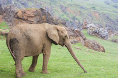 Elephant. Big elephant on green meadow Stock Image