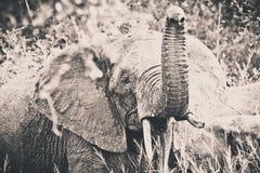 Elephant. An big elephant at the Kruger Park stock photography