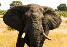 Elephant. An big elephant at the Kruger Park stock image