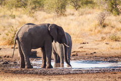 Elephant. An big elephant at the Kruger Park stock photo