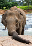 Elephant with big proboscis. Proboscis of an Elephant leans on a rock towards the viewer Stock Photography