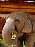 Elephant. Is the biggest animal in  village Stock Images