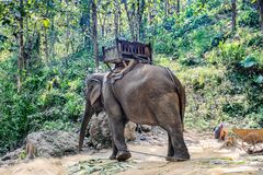 Elephant bind with a chain and sleeping boy. In the Laotian jungle stock photo