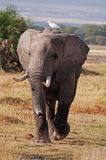 Elephant and Bird. An elephant on the masai mara in Kenya with a passenger Royalty Free Stock Photography