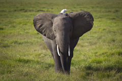 Elephant with a bird, good friends Royalty Free Stock Images