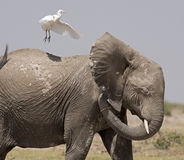 Elephant with bird. Royalty Free Stock Photo