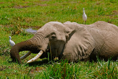 Elephant and Birds Kenya Stock Photography