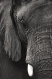 Elephant Black and White. The Beautiful Elephant to very close Royalty Free Stock Image