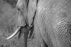Elephant on black and white royalty free stock photo