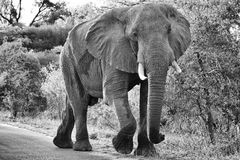 Elephant in black and white Royalty Free Stock Photo