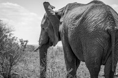 Elephant in black and white in the Kruger National Park, South A Stock Photo