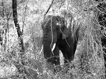 Elephant. Black and White. Elephant in the woods. Afrikaanse olifant welke uit bos komt royalty free stock image