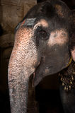 Elephant blessings pilgrims at Hindu Temple Royalty Free Stock Photography