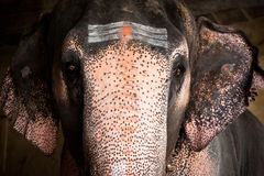 Elephant blessings pilgrims at Hindu Temple Stock Photography