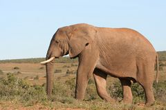 Elephant and blue sky. Elephant male walking in the african bush royalty free stock photos
