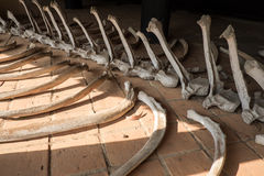 Elephant bones in Thailand. Elephant bones for education. truth of life Royalty Free Stock Image