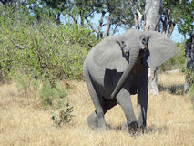 Elephant in Botswana Stock Photo