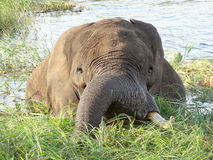 Elephant in Botswana Stock Photos