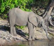 Elephant in Botswana Stock Photo