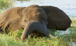 Elephant in Botswana Royalty Free Stock Photography
