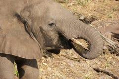Elephant in Botswana Royalty Free Stock Photography