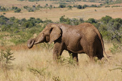 Elephant in Botswana Royalty Free Stock Photo
