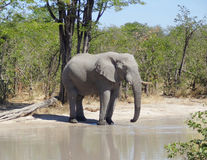 Elephant in Botswana Stock Photography