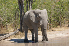 Elephant in Botswana Royalty Free Stock Image