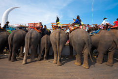 Elephant Breakfast Rear End H Royalty Free Stock Photos