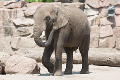 Elephant Stock Image