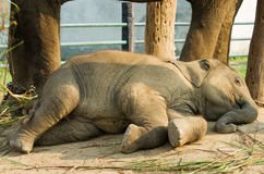 Elephant Breeding Centre in  Nepal Stock Images