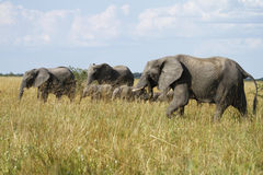 Elephant Breeding Herd Royalty Free Stock Image