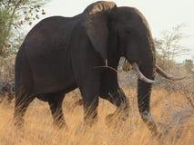 Elephant broadside Stock Photography