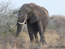 Elephant broadside Royalty Free Stock Images