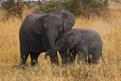 Elephant brothers. Two elephants brothers of different ages demonstrate their affection each other Royalty Free Stock Photography