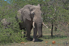 Elephant in the Brush. Adult elephant sits in the brush munching on branches Stock Images