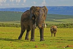 Elephant & Buffalo at Addo Park Royalty Free Stock Photo