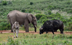 Elephant, buffalo & zebra Royalty Free Stock Images