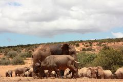 Elephant and Buffalop. A large muddy elephant with a buffalo male coming across Stock Photo