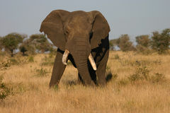 Elephant Bull. In the Kruger National Park Royalty Free Stock Photography